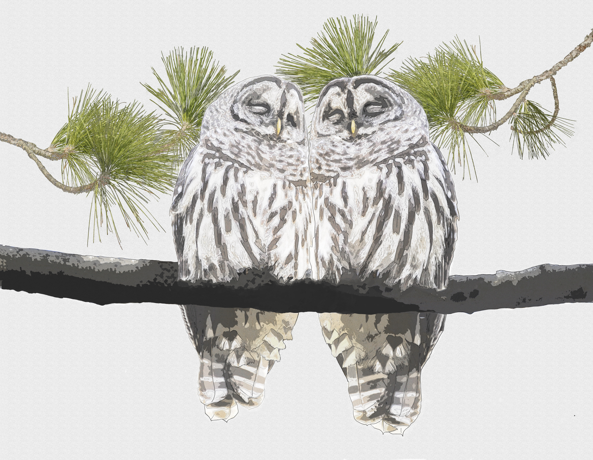Barred Owls in Love