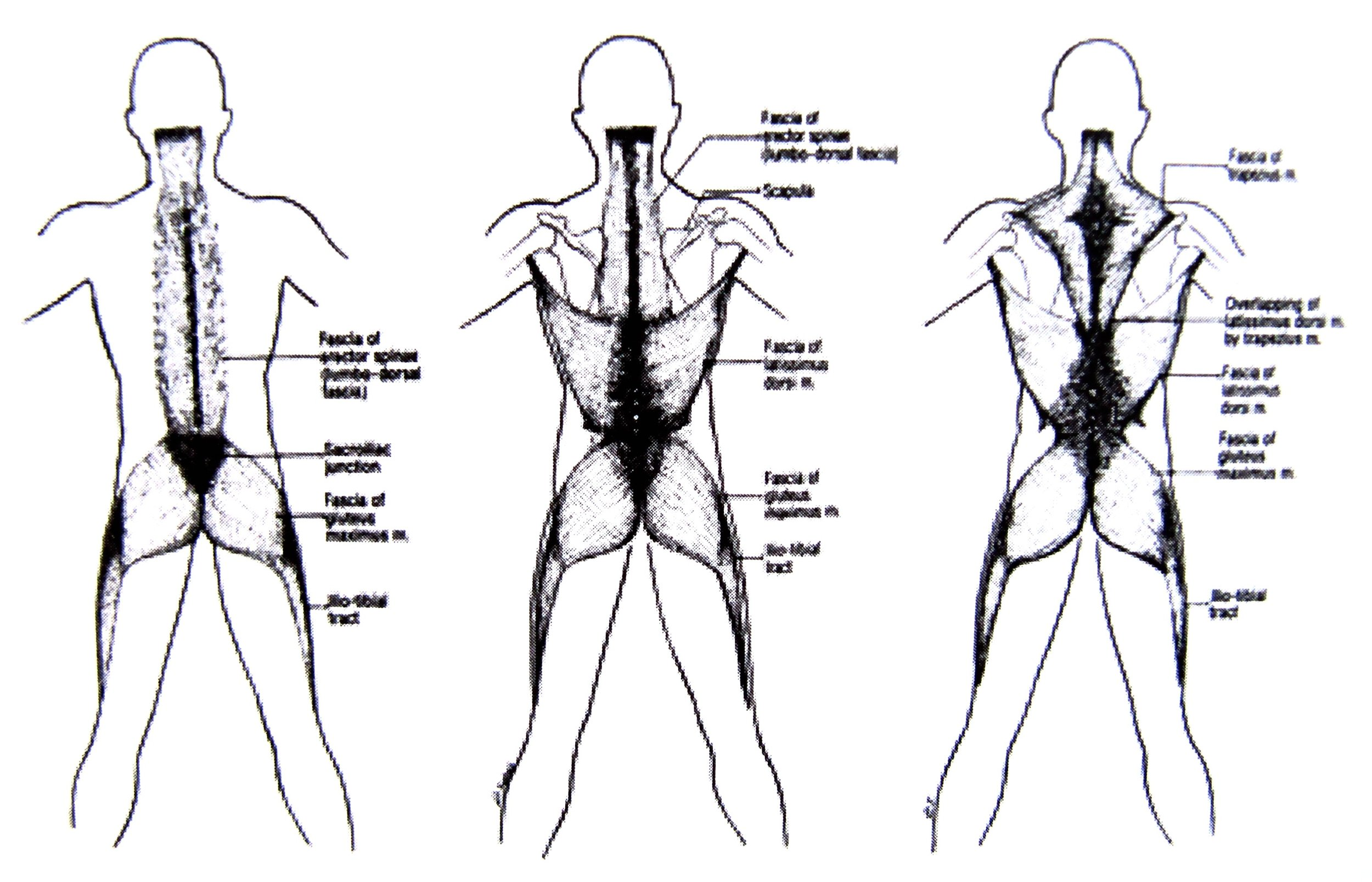 Schultz, R. L. & Fetis, R.  E   ndless Web: Fascial Anatomy & Physical Reality  . North Atlantic Books, 1996.