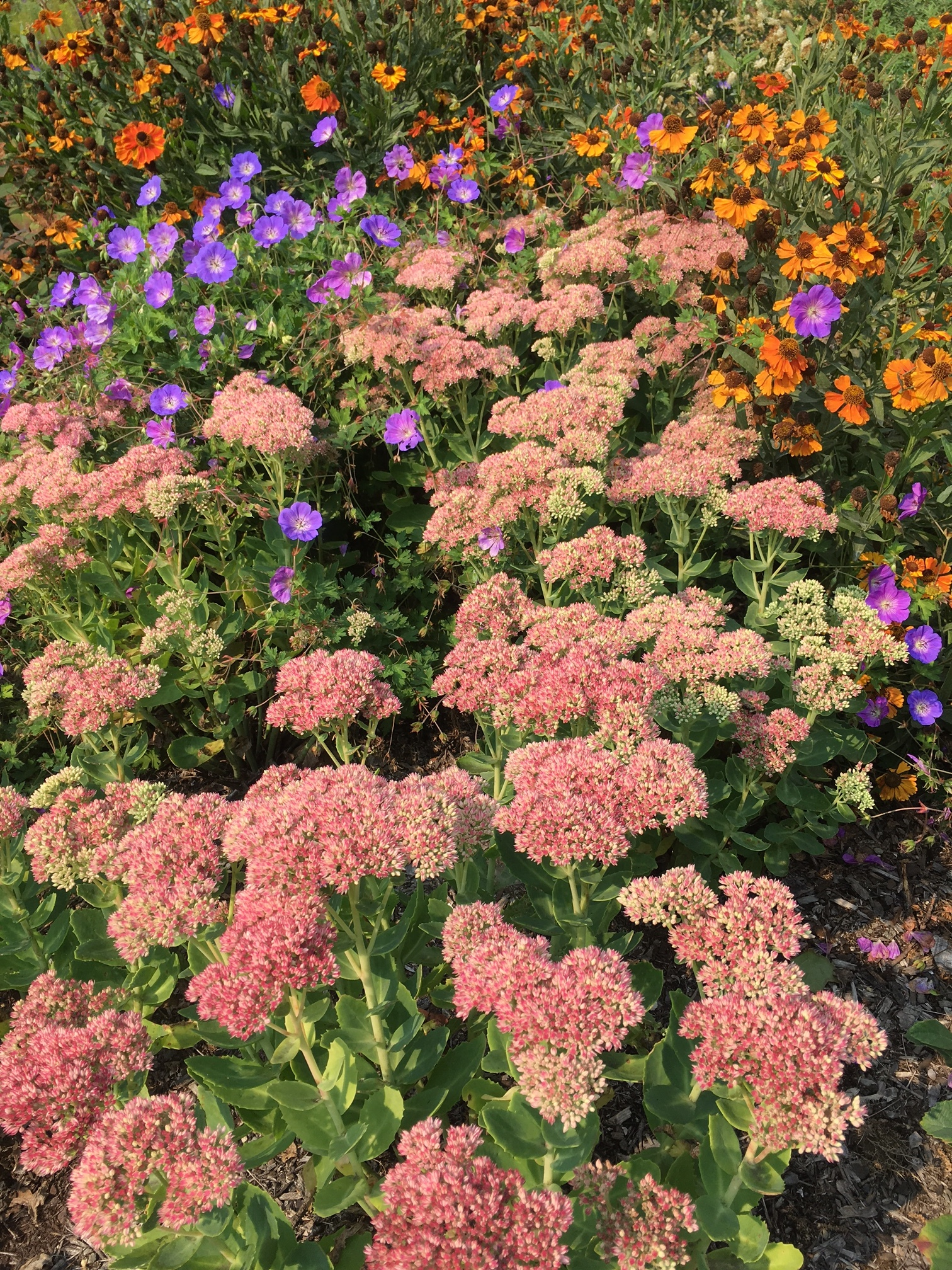 Sedums provide reliable late summe color. Helenium 'Mardi Gras' and Geranium 'Rozanne' bloom earlier but keep going through the summer. .