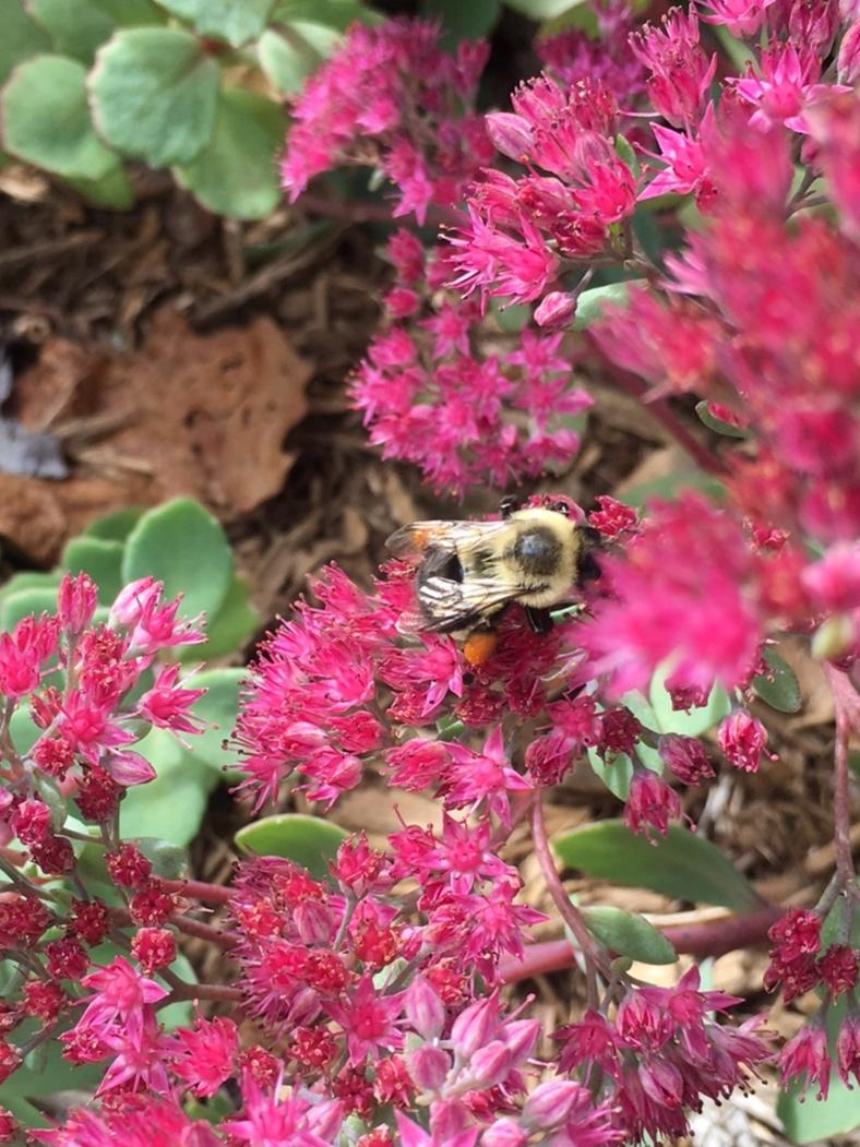 Bees love sedums
