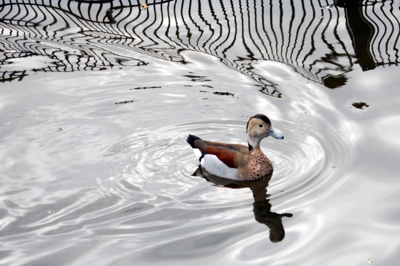 duck uk.jpg