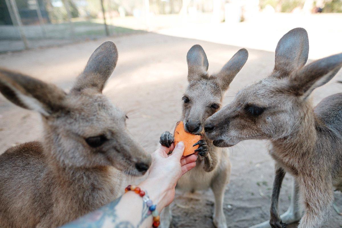15 Australien Horizons Kangaroo Sanctuary 7.jpg