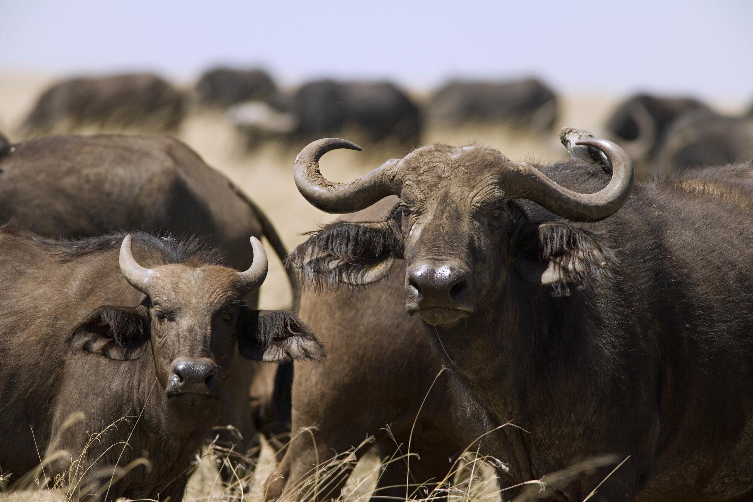 Cape Buffalo Kenya