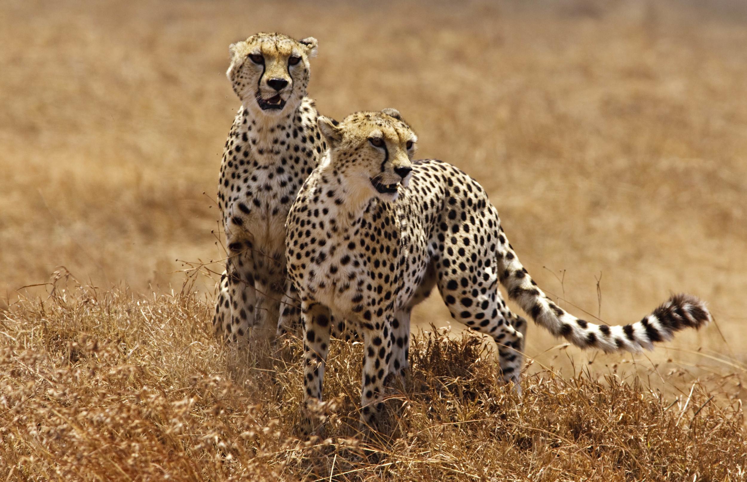 Cheetah Brothers Tanzania