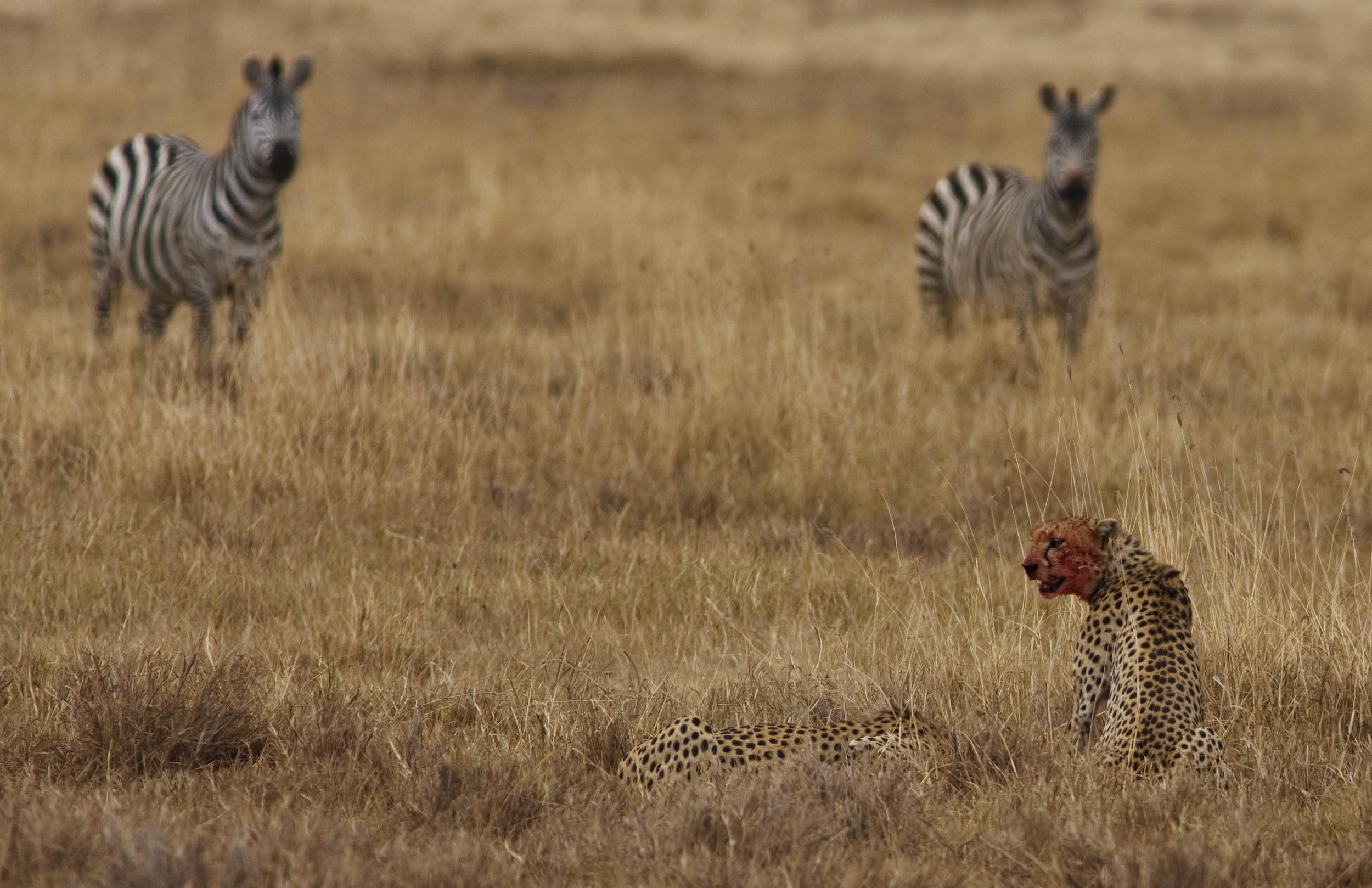 Cheetah Kill Tanzania
