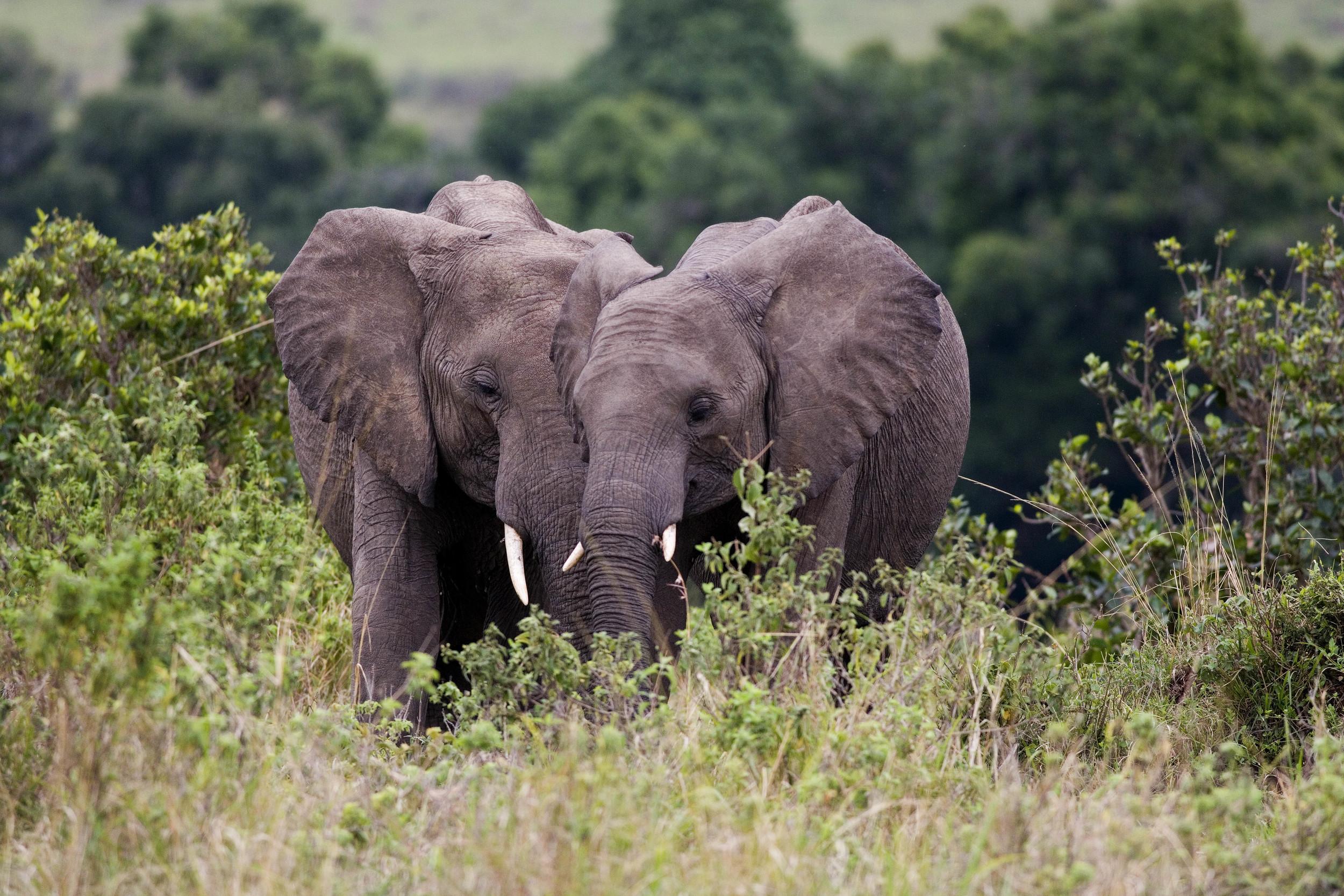 Elephant Couple Kenya