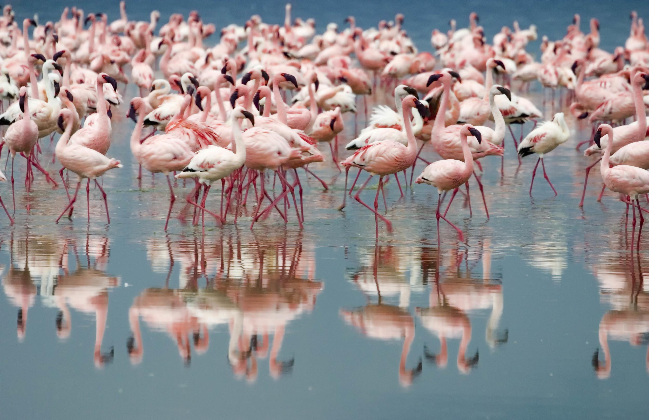 Pink Flamingos Kenya