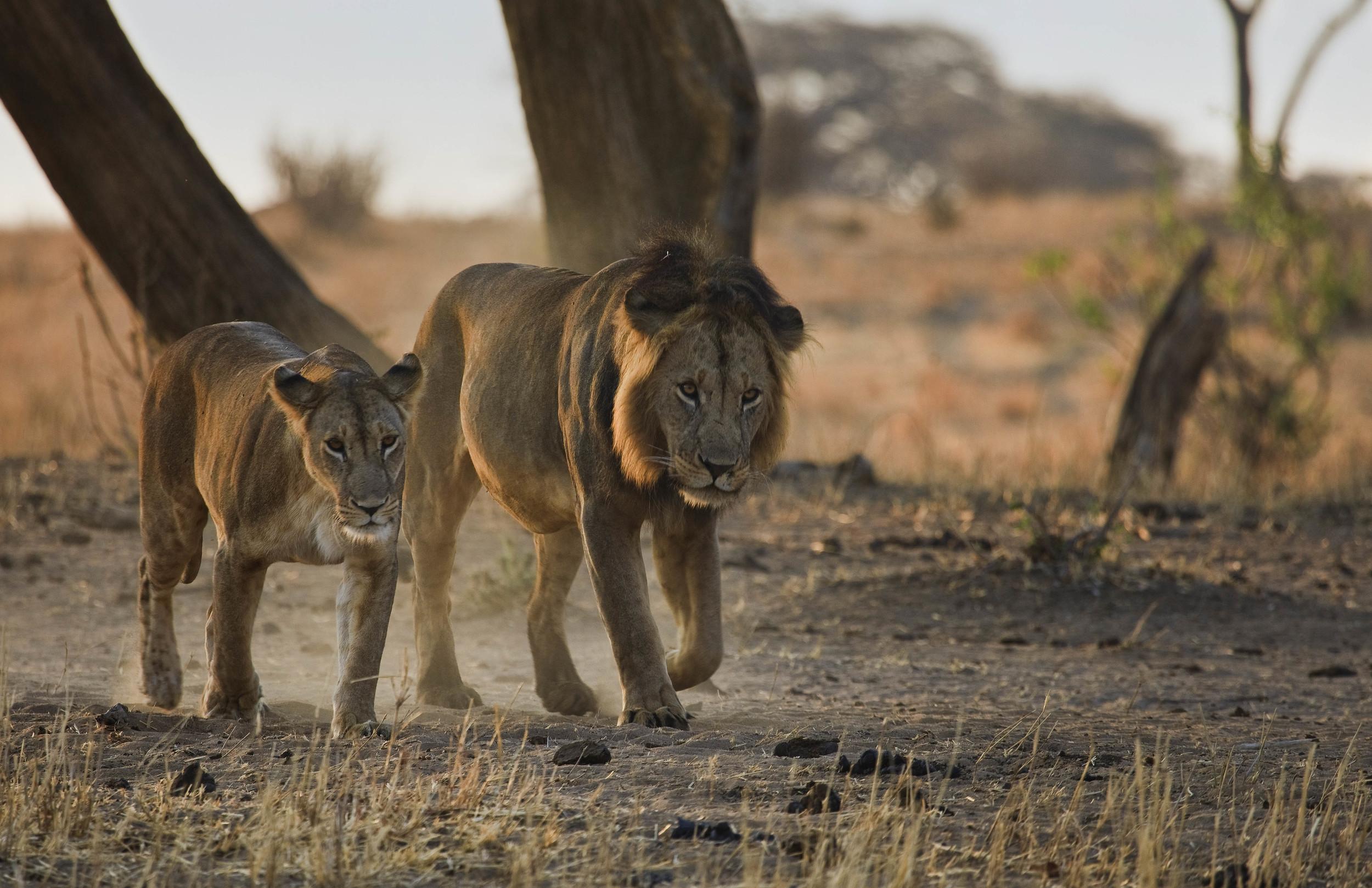 Lion Couple Tanzania