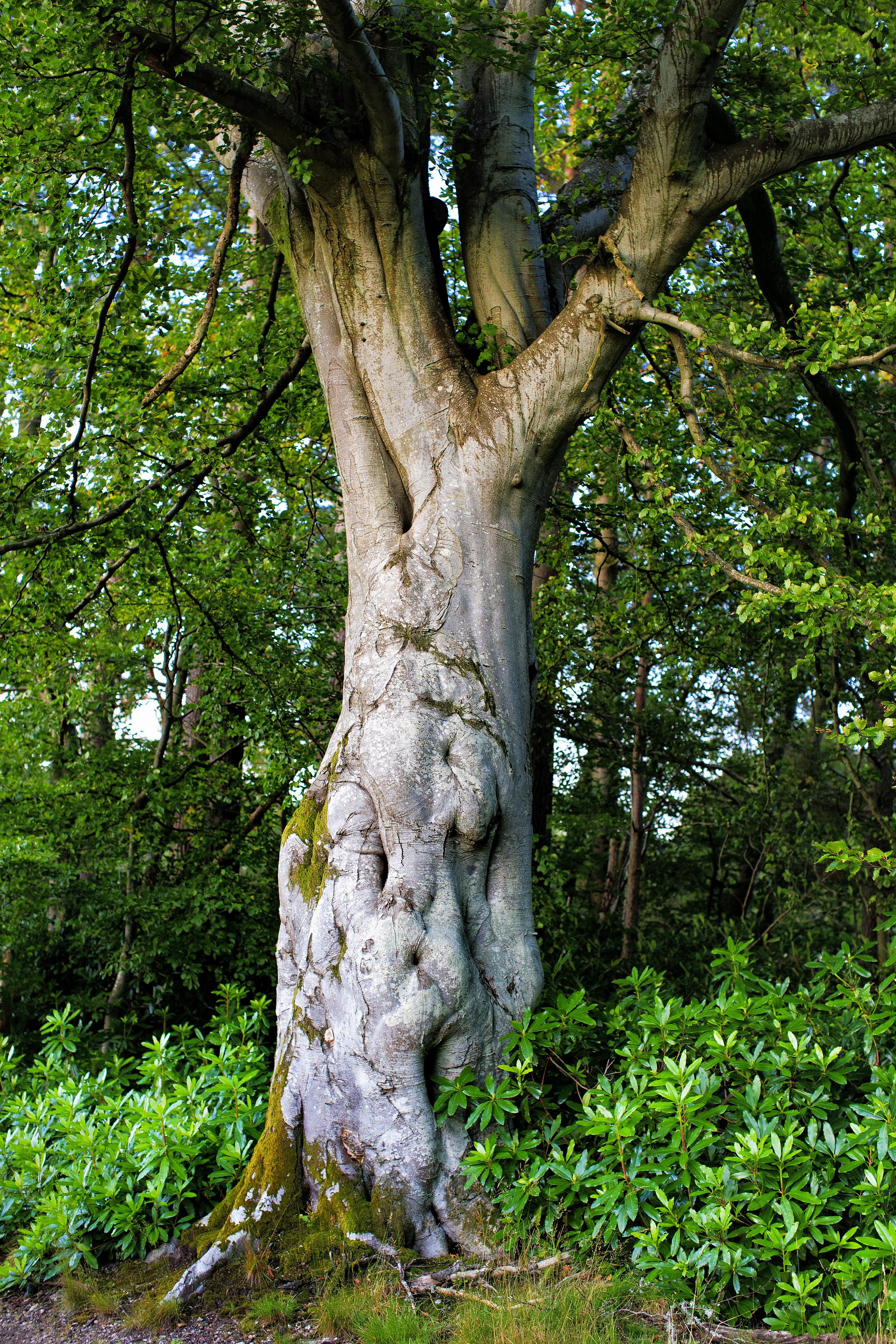 Man Tree Scotland