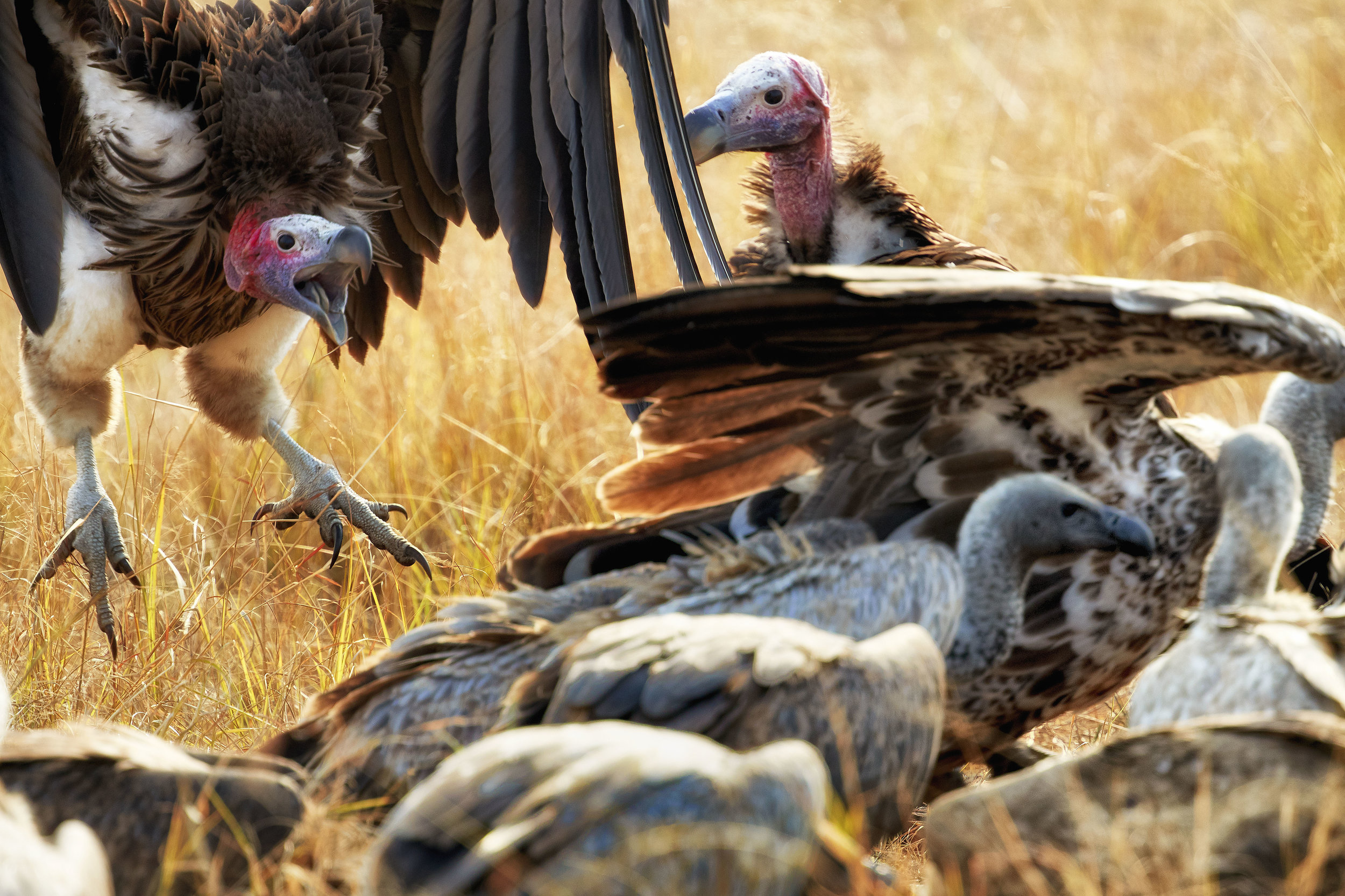 Vultures Kenya