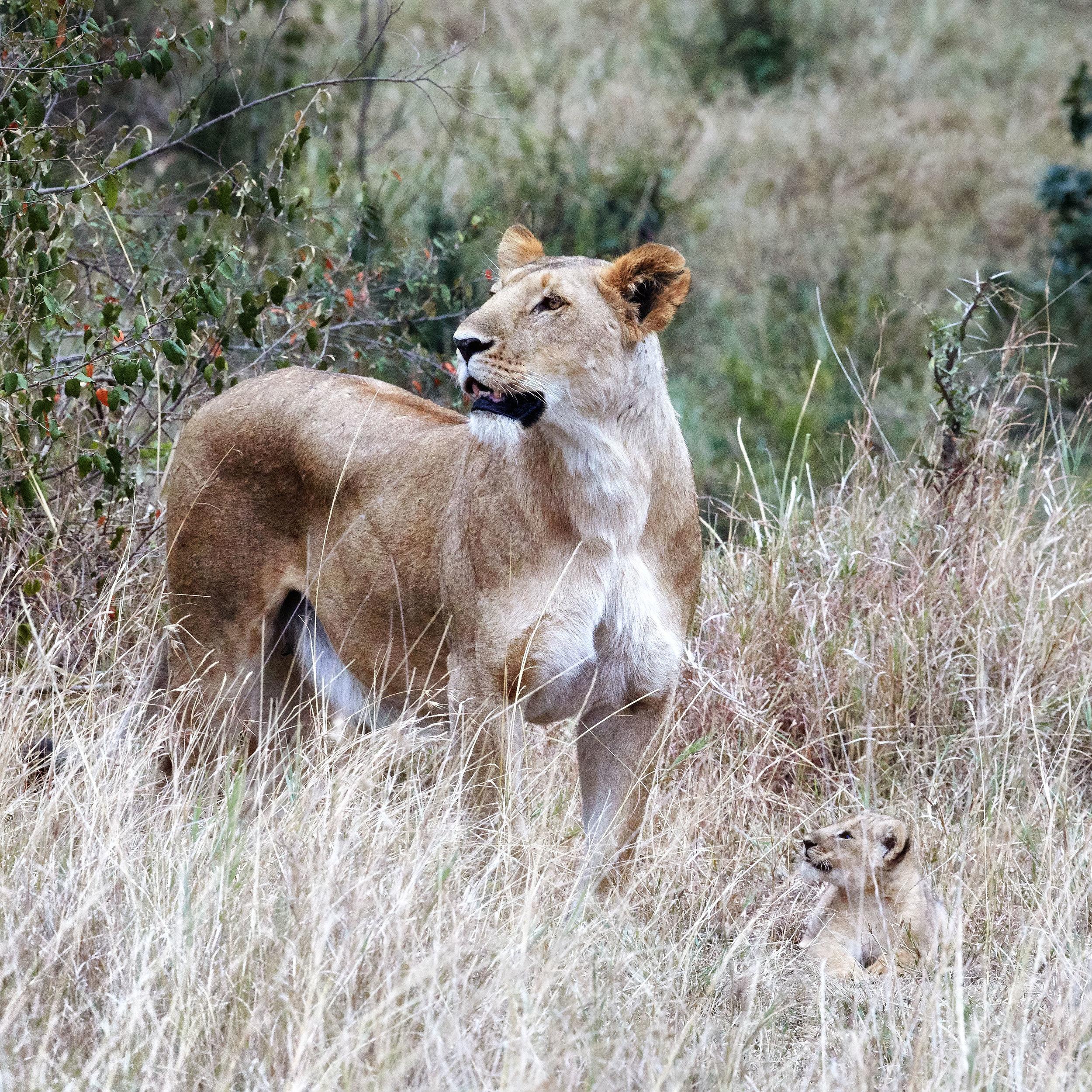 Female Lion With Cub Kenya
