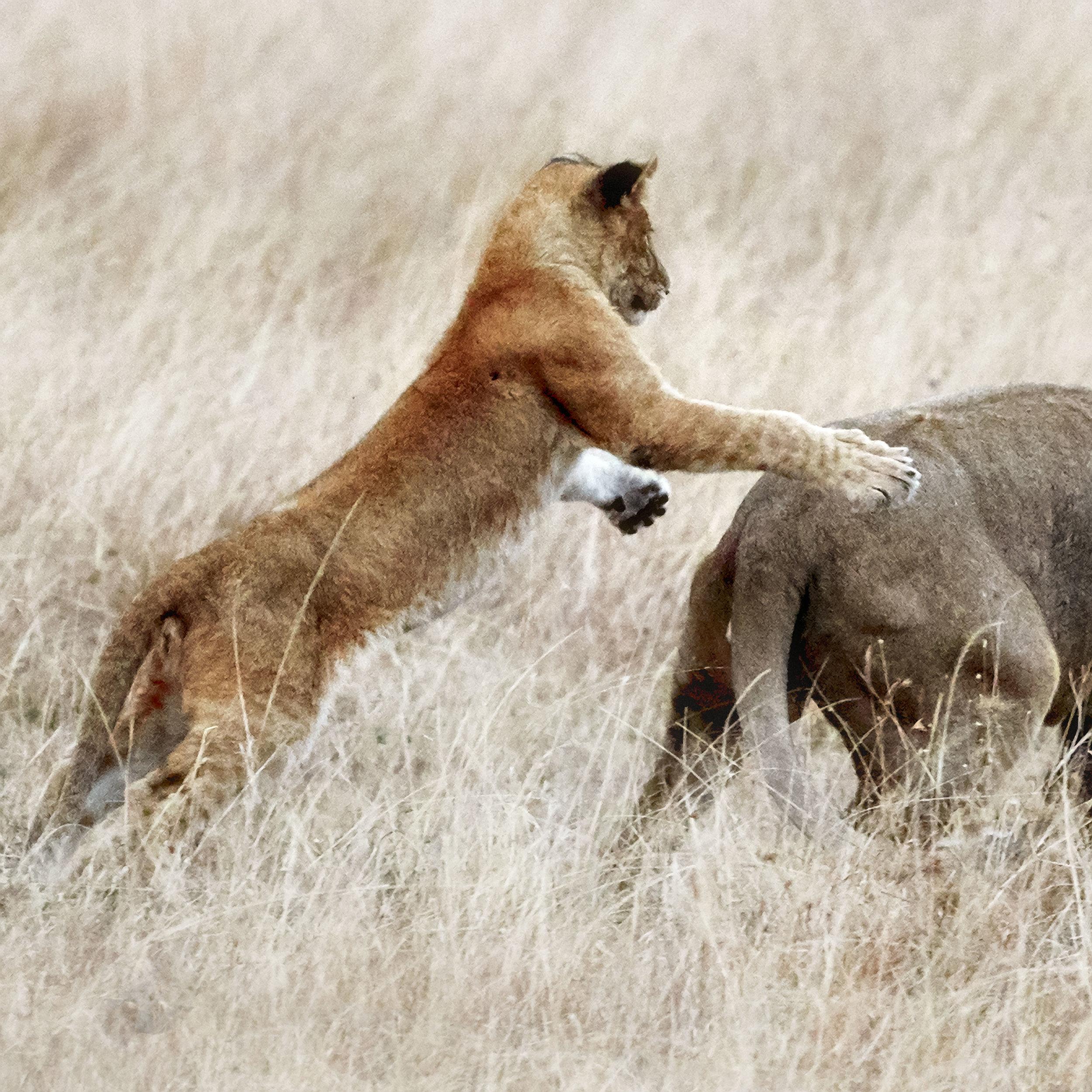 Lion Leap Kenya