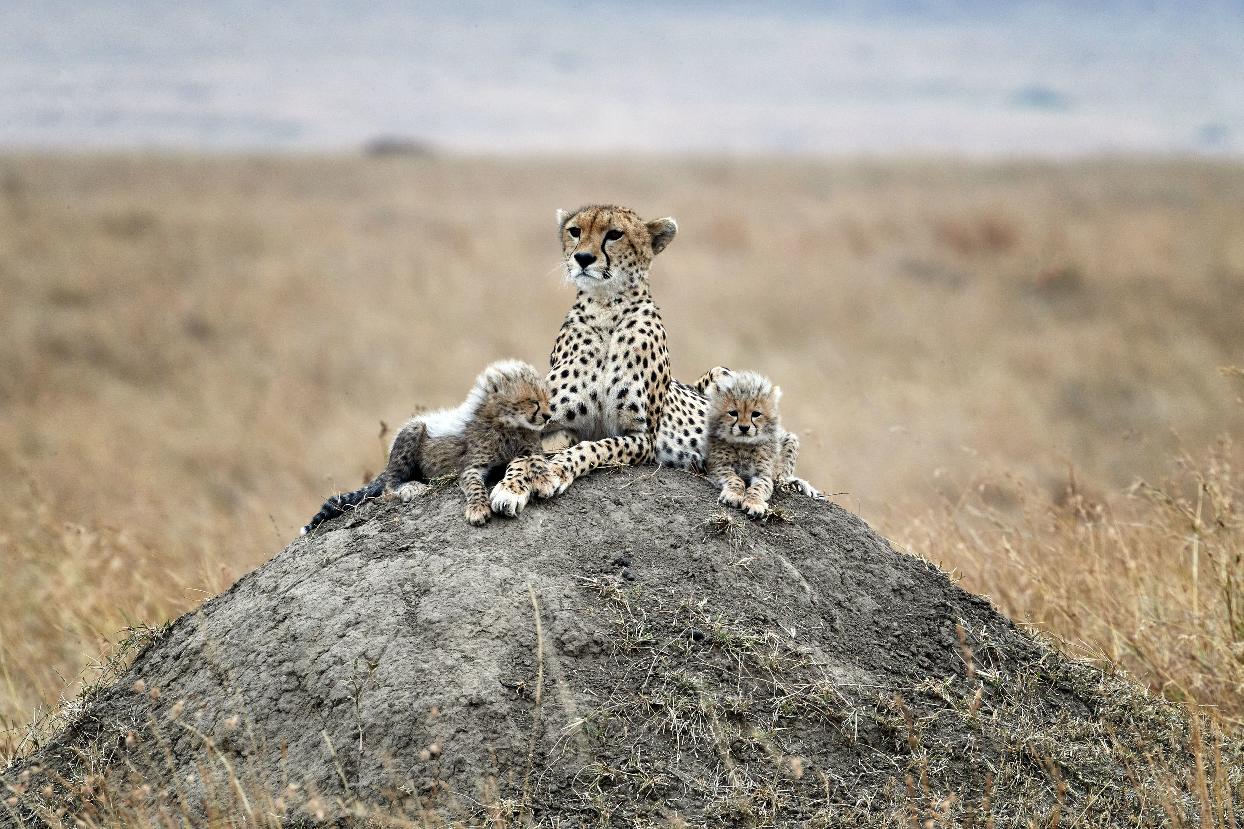 Cheetah Family Kenya