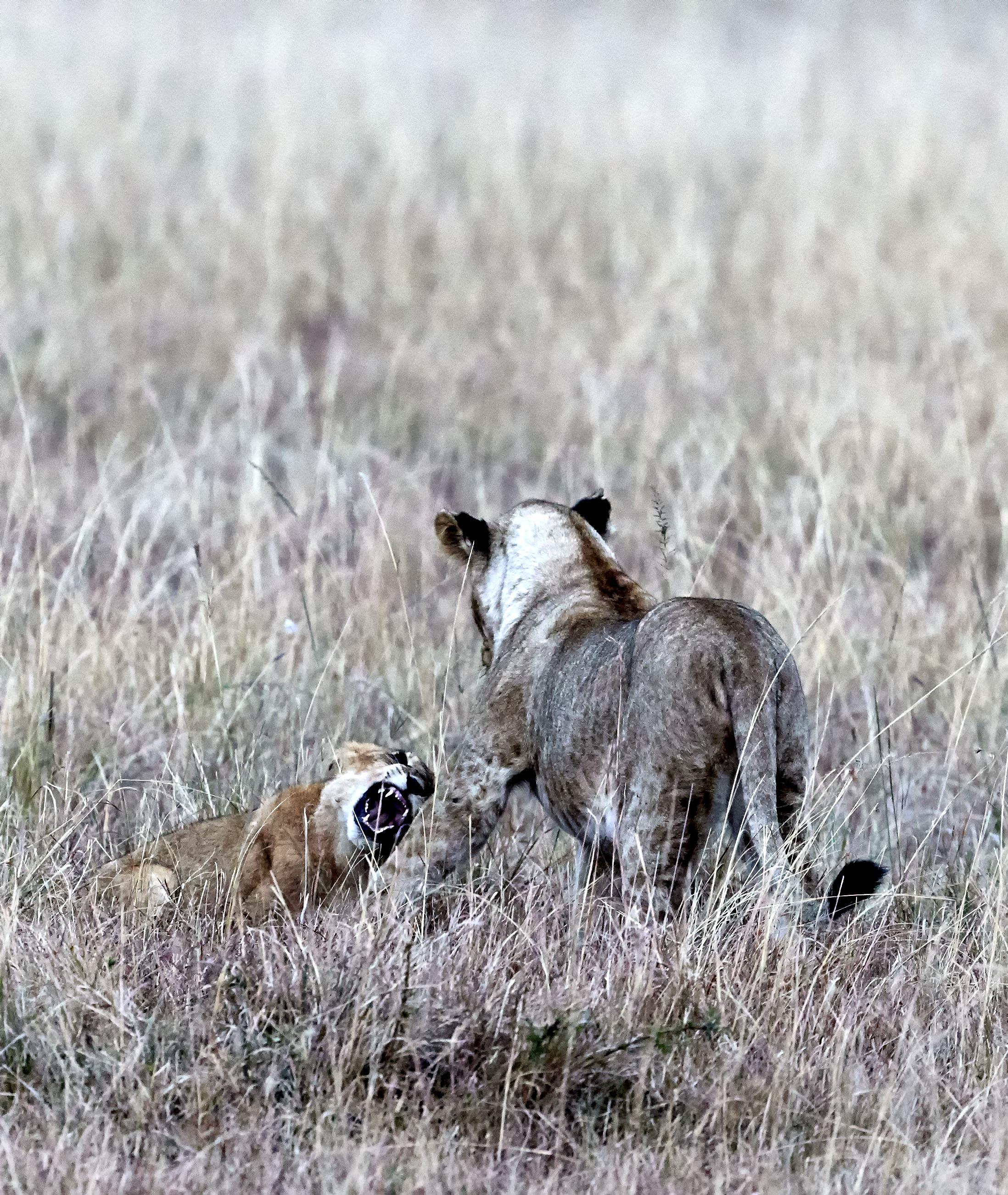 Lions Mating Kenya