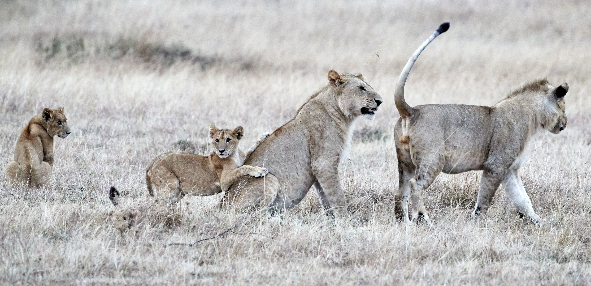 Young Lion Males and Cubs Kenya