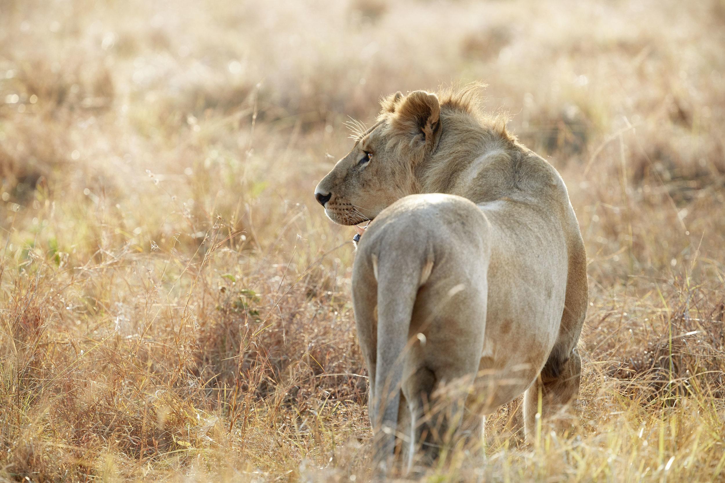 Lion Hunting Kenya