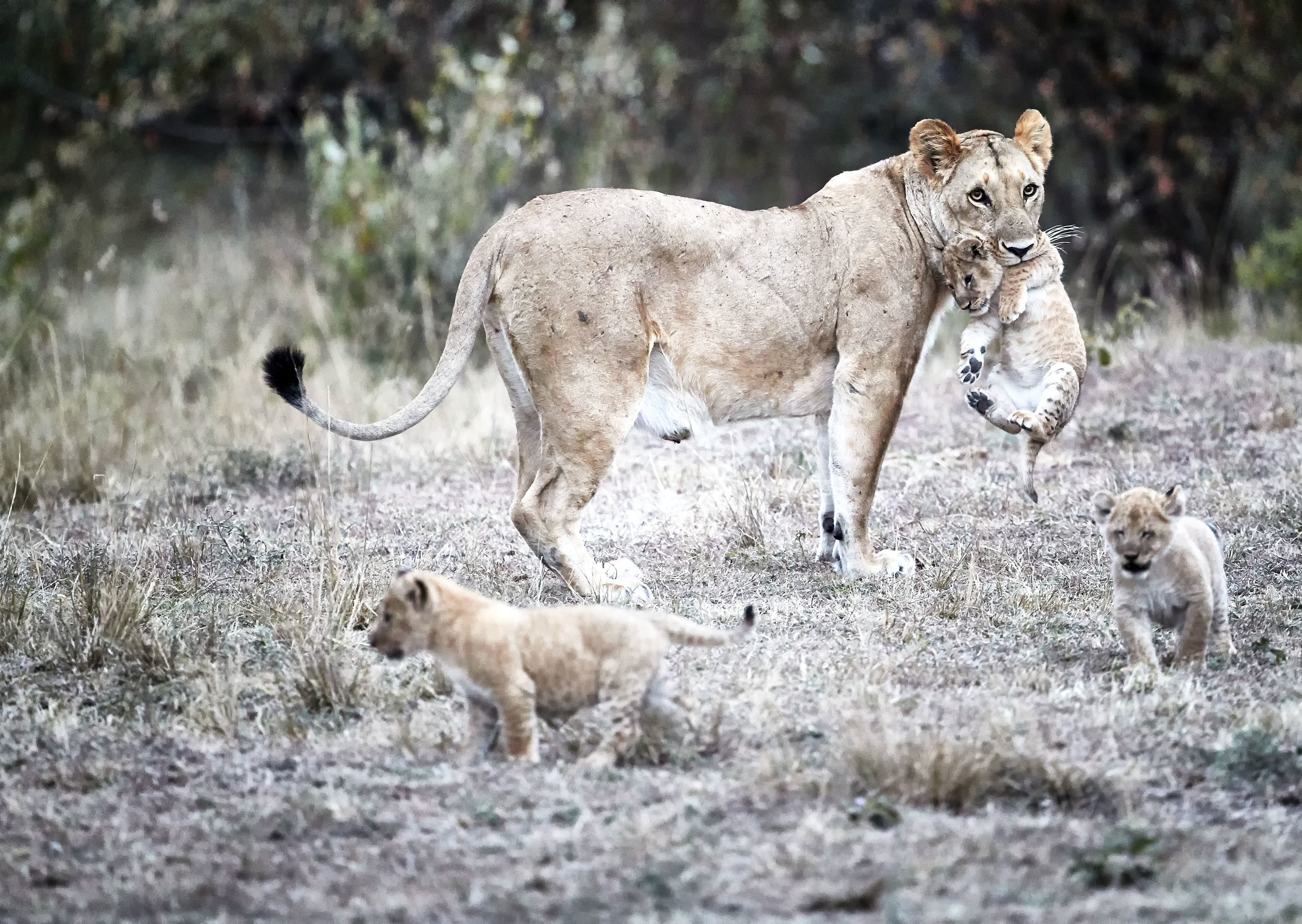 Female with Cubs in Tow Kenya