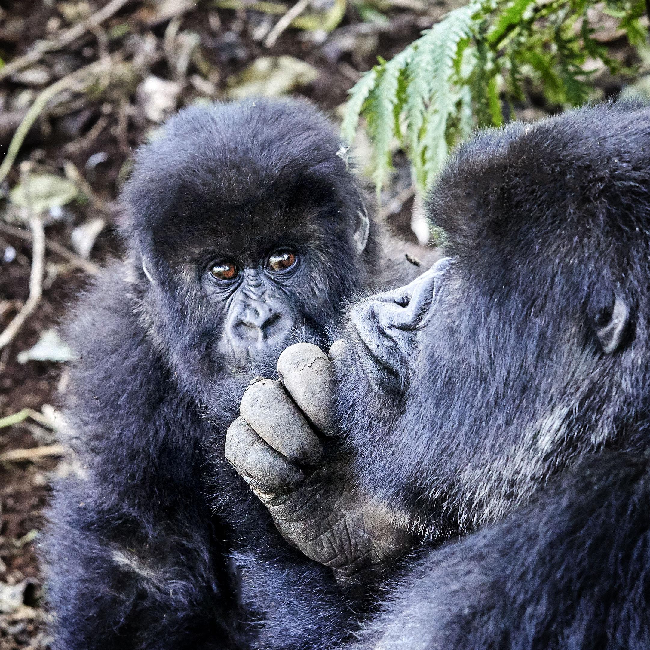 Gorillas Contemplating Rwanda