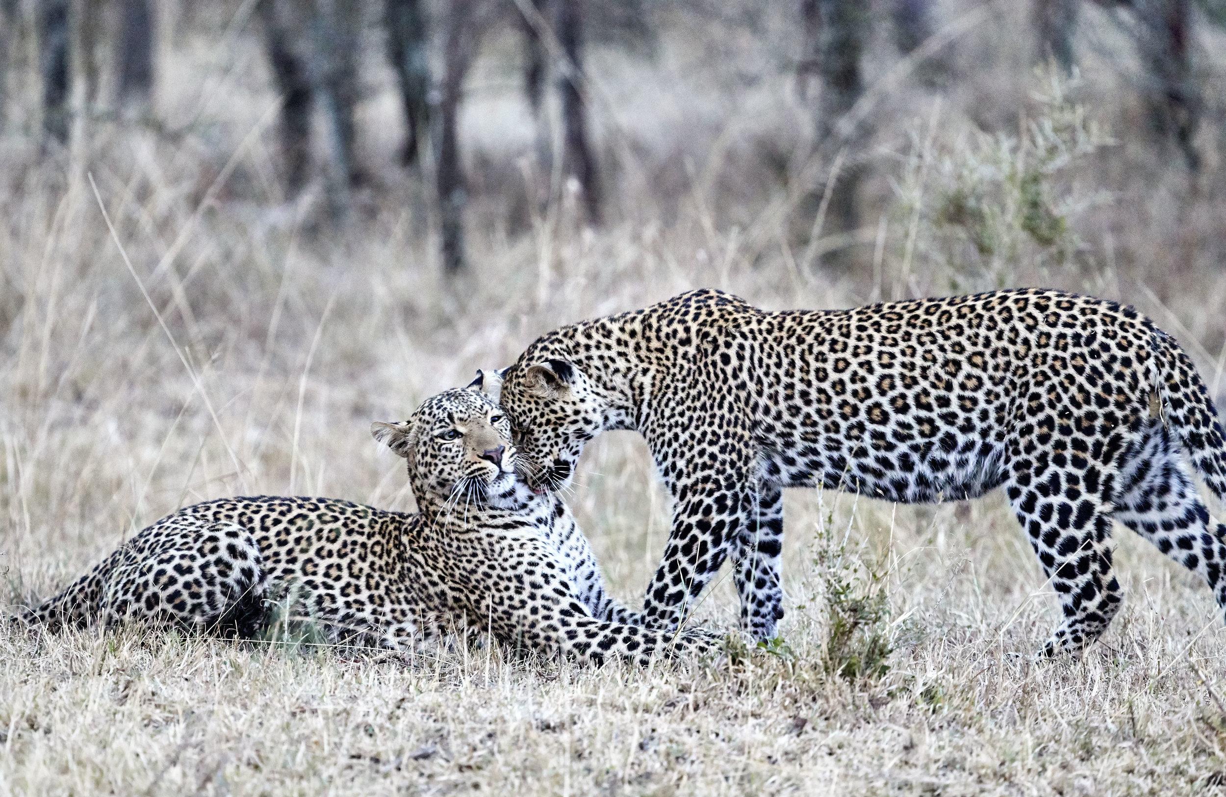 Leopards Kenya