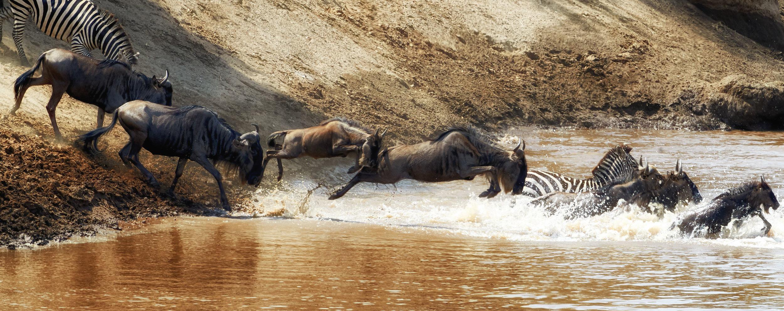 Crossing of the Mara River Kenya