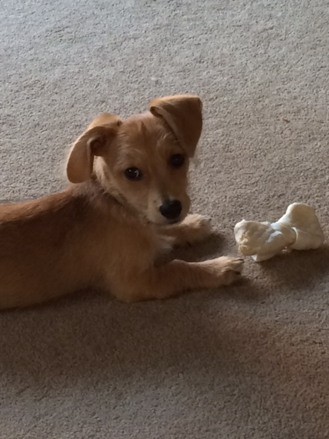 "Introducing ""Sidney""...our Dachshund/Poodle Mix rescue puppy!!"