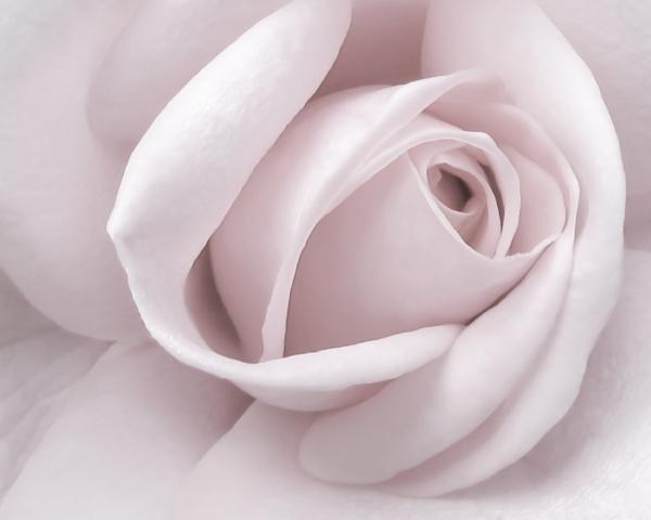 Blush Pink Rose  8x10.JPG