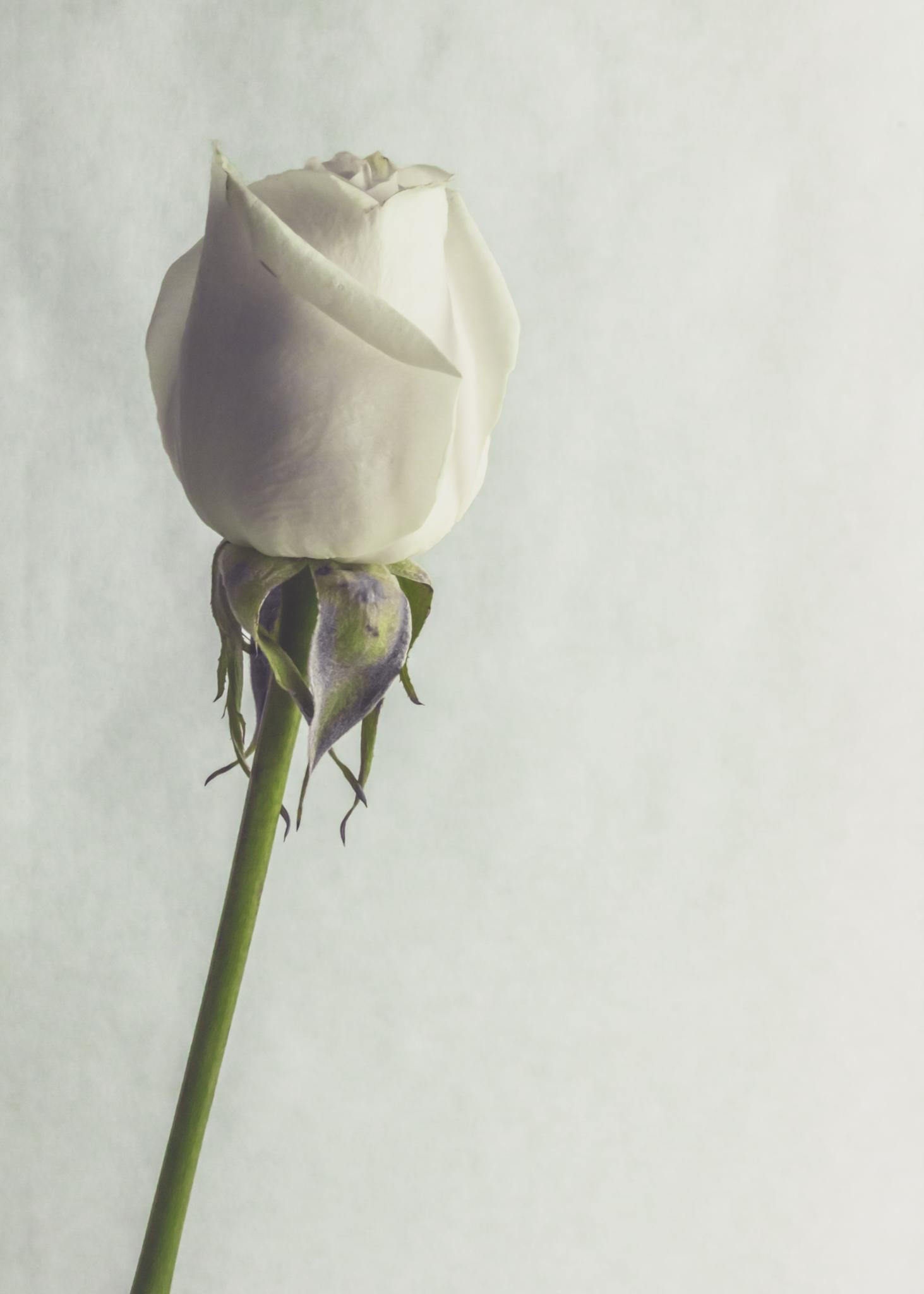 White Rose 5x7.JPG