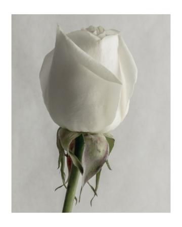 White Rose Stem 8x10 with border.jpg