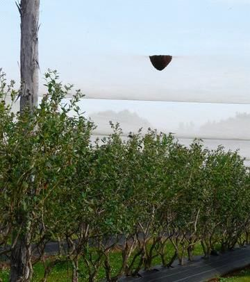 Geoff Manning took this picture of a swarm that had settled on the inside of the net at a blueberry farm. The swarm was caught successfully. Thanks for the photo Geoff.