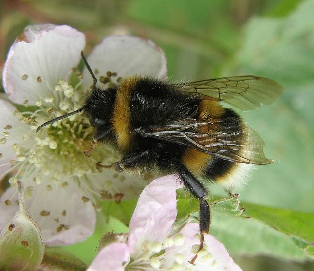Bombus terrestris , the buff-tailed bumblebee or large earth bumblebee, is one of the most numerous bumblebee species in Europe. It is one of the main species used in greenhouse pollination, and so can be found in many countries and areas where it is not native, such as Tasmania.