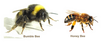 The bumbebee is substantially larger than a honeybee