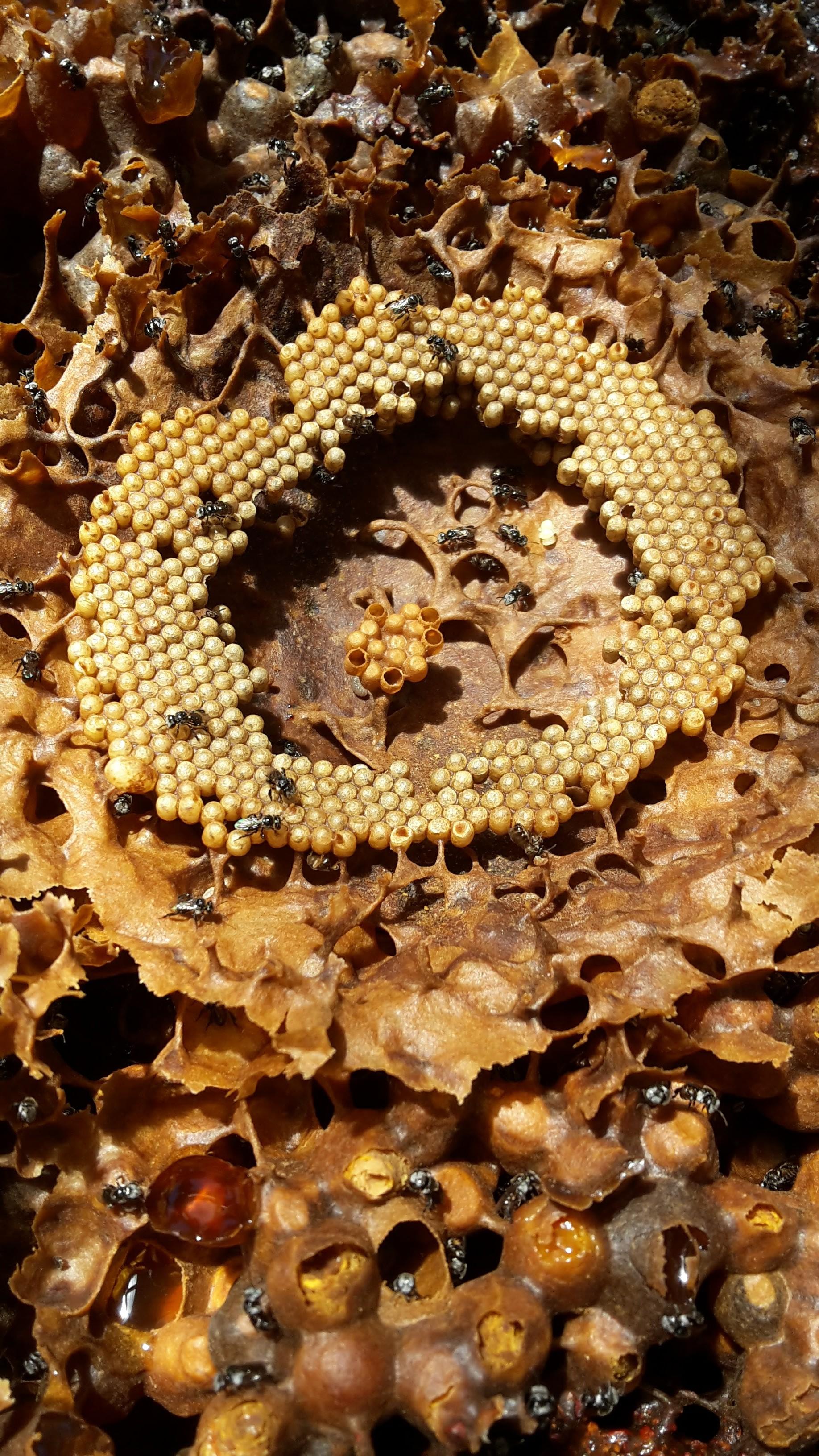 Inside a stingless bee hive