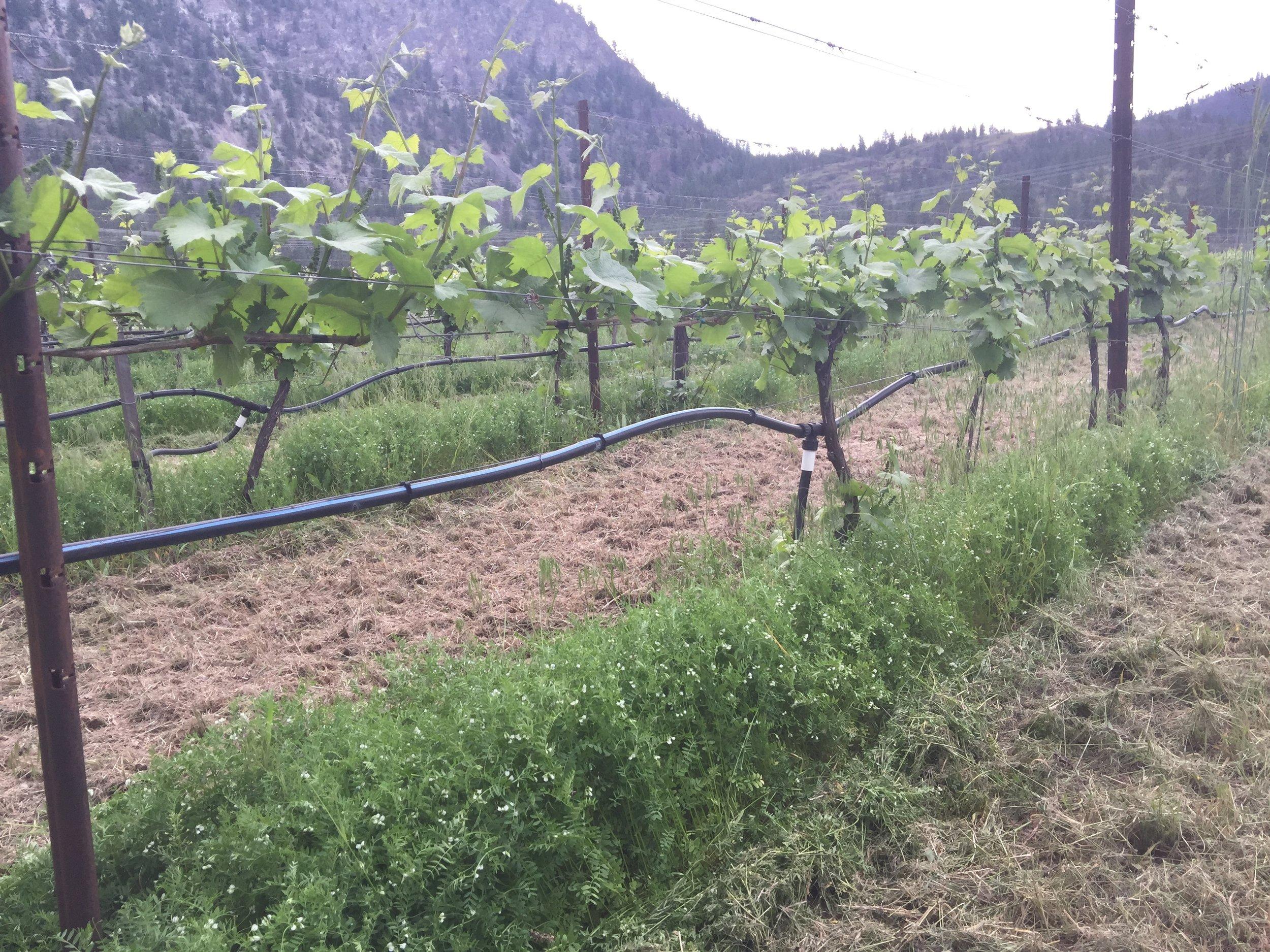Winter Lentil cover crop in vineyard