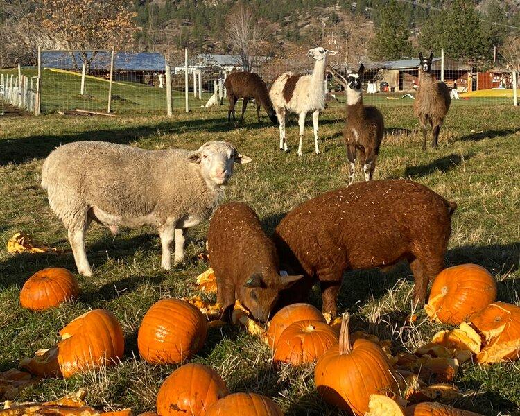 Flury, Dorper Ram. Angus (Boar) and Olfred (Barrow), Red Hungarian Mangalitsa Pig. Bandit, newest Llama.