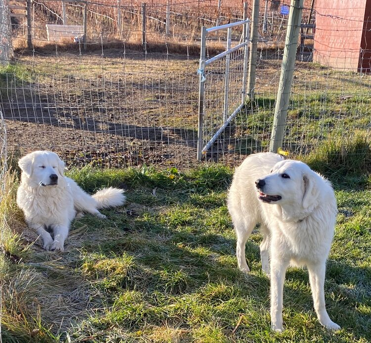 Luna and Casper, Italian Maremma guardian dogs