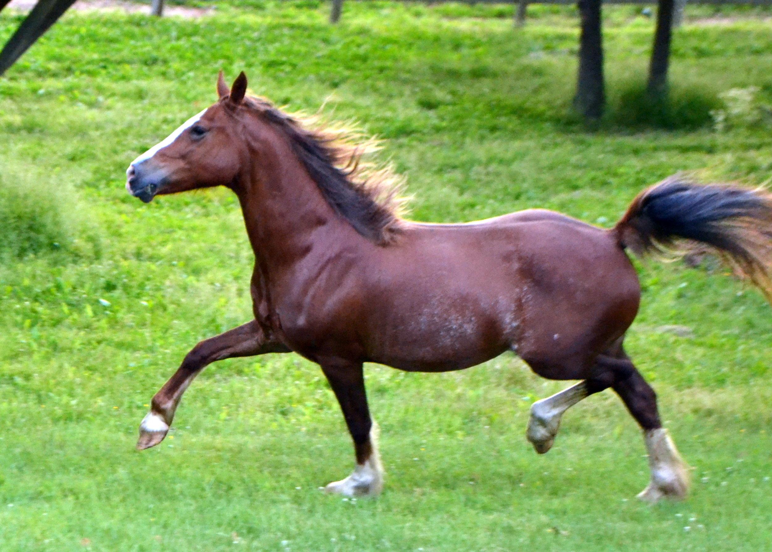 Gallod Fflamboyant - Insert Parentage20xx Mare