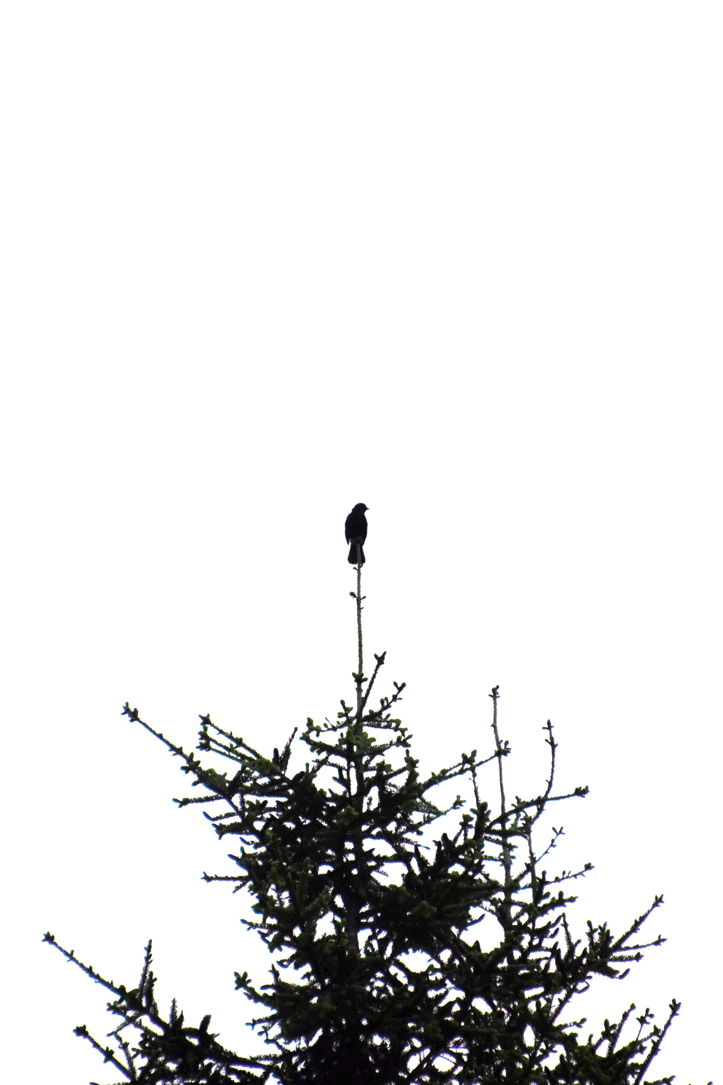 6.19.14.BlackBirdPineTree.JPG