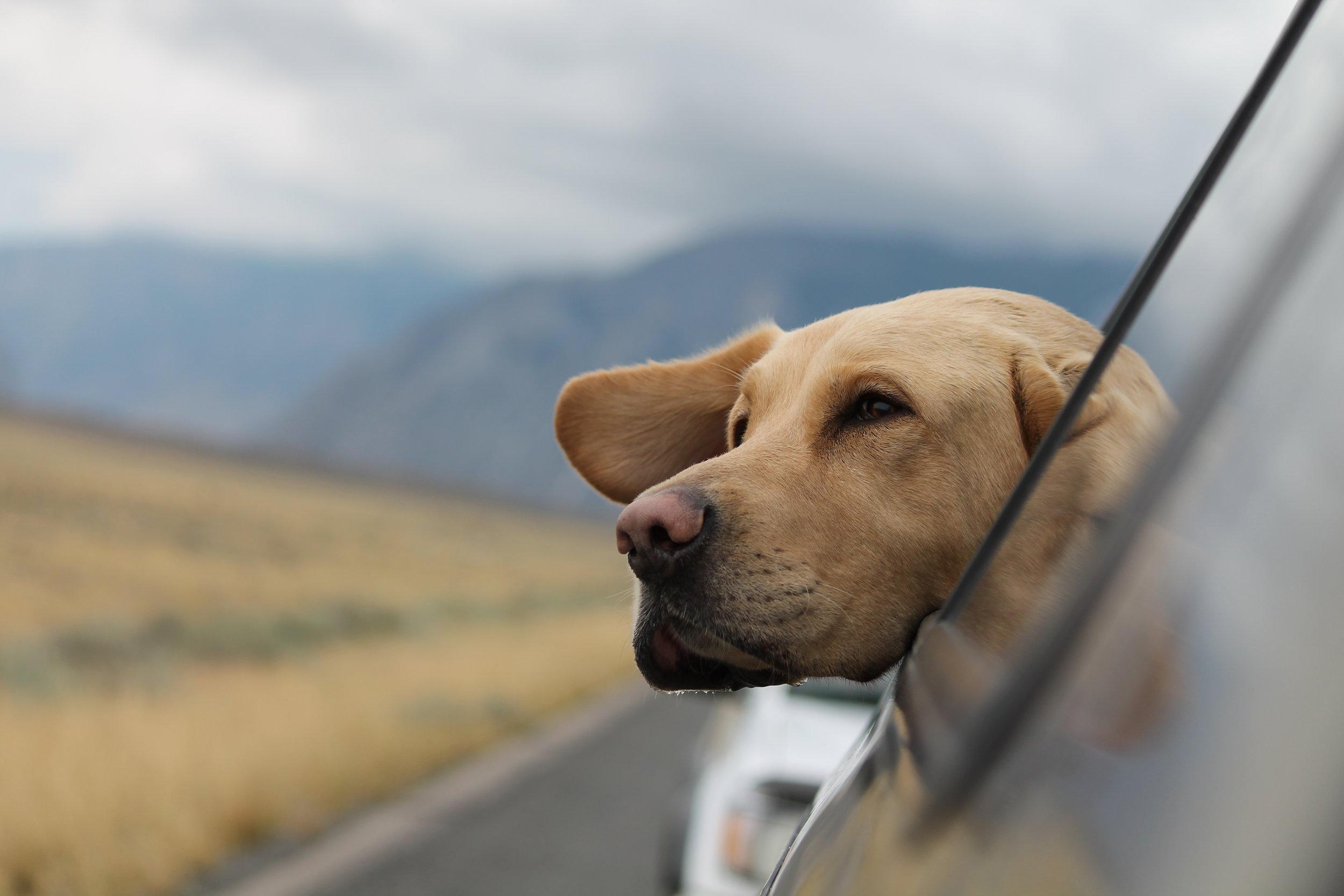 Dog_riding_in_car