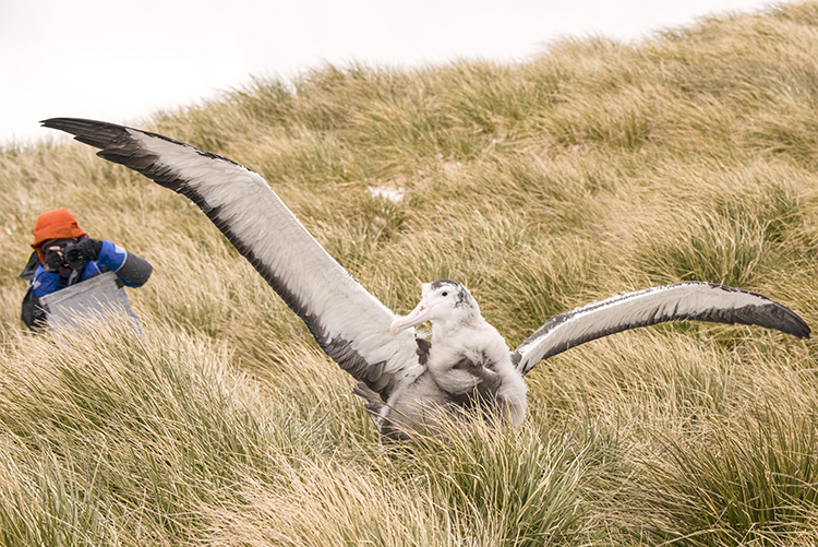 It was fantastic to photograph and sketch  the  several young wandering albatross on Prion Island, South Georgia.  (photo - Boris Wise)