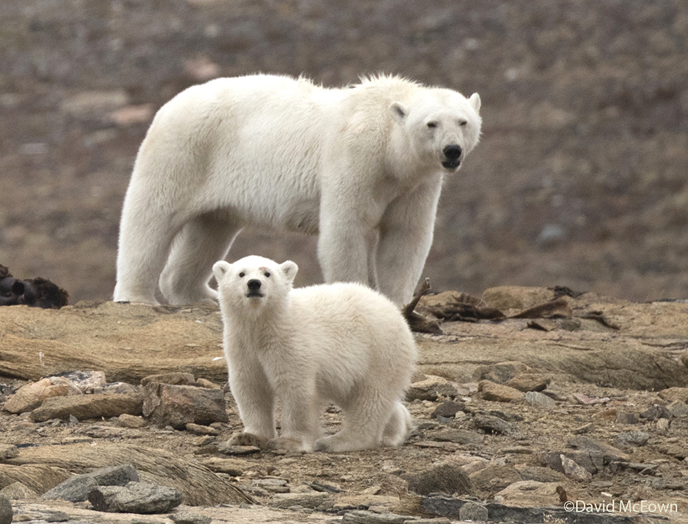 Mother and cub, Devon Island