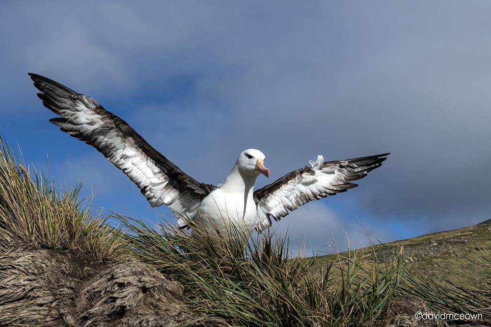 Black Browed Albatross, West Point Island.