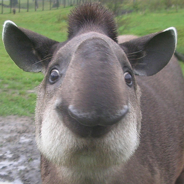 Heart of a champion, face of a tapir.