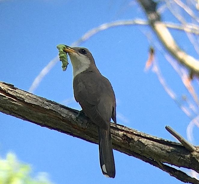 Western Yellow-billed Cuckoo