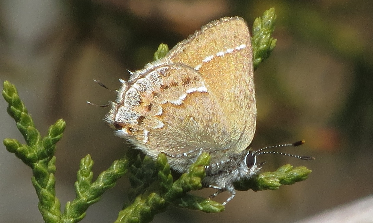 Thorne's Hairstreak, Chula Vista, CA