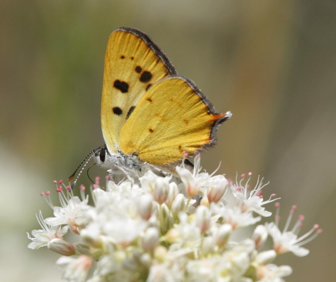 Hermes Copper Butterfly