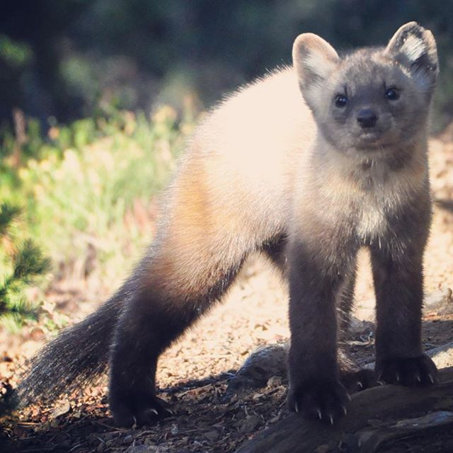 "We saw this #americanmarten in @jaspernationalpark last fall, extremely curious about sharing his trail with us humans. North American #martens are split up into two distinct species, #martesamericana and #martescaurina, known as the #Pacificmarten .  In the #UnitedStates, the Pacific marten is found on the #westcoast while the American marten is primarily found on the #eastcoast and comes down from #Canada into Idaho and Wyoming. Recent research shows that both species are hybridizing in the ""contact zone"", which is roughly around the #GreatContinentalDivide and #SelkirkMountainRange regions.  We have two subspecies of the Pacific marten here in #california, the #Humboldtmarten and #Sierramarten . The Humboldt marten is a #CDFW #SpecialSpeciesConcern #SSC and the Sierra marten is considered Sensitive by the #USForestService #usfs . Due to habitat fragmentation and loss of mature #coniferousforest, this #weasel may require future #conservation efforts in order to protect the species survival."