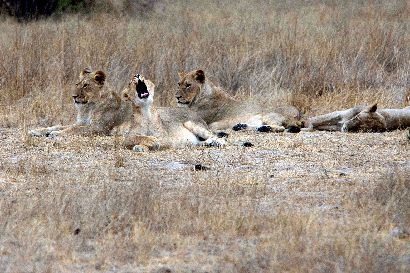 pic 22 lions.jpg