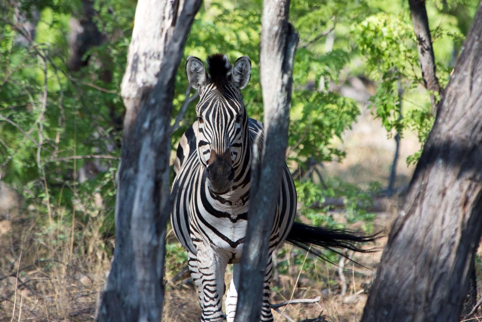 pic 26 zebra.jpg