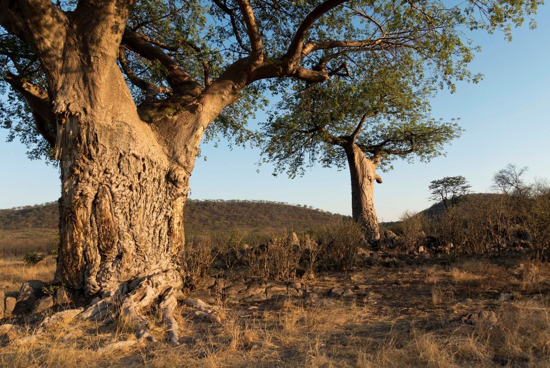pic 46 chobe tree.jpg