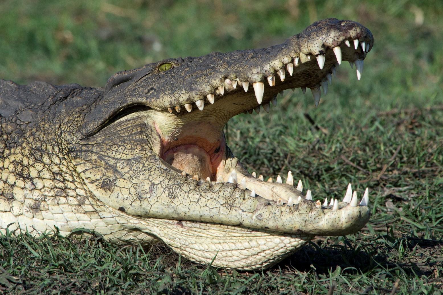 pic 48 croc.jpg